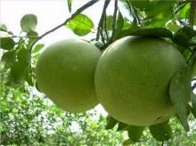 กินส้มโอ ช่วยต้านไขมันสูง