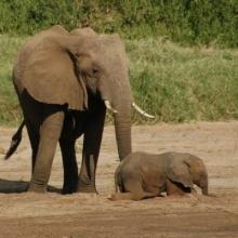 รู้มั้ย ช้าง ใช้เท้าฟังเสียงแทนหู