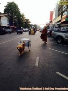 แชร์กระฉ่อน! หมาลากรถเข็นตามพระบิณฑบาต ชี้เป็นการทรมานสัตว์!