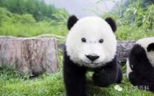 จะเกิดอะไรขึ้น!? หากหมีแพนด้าไม่มี 'ขอบตาดำ'