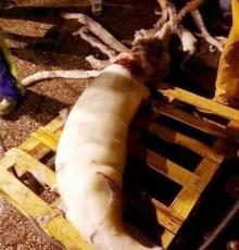 โคตรอภิมหาหมึกยักษ์ ที่ถูกจับได้ล่าสุด!