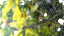 แมงมุมชักใยยังไง ? มาดูกันถึงการสร้างสุดยอดงานวิศวกรรมขนาดจิ๋ว
