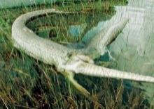 ตะลึงงูหลามเขมือบจระเข้ท้องแตกตาย