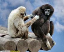 ~ลิงเกลียดกะปิ~ & ~ลิงกำถั่ว~