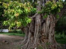 เคยสงสัยมั้ย!! ทำไมทิ้งพระพุทธที่ผุผังไปไว้ใต้ต้นโพธิ์