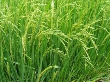 ไบโอเทคช่วยเหลือเกษตรกรฟื้นฟูดินเค็ม