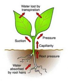 การคายน้ำของพืช
