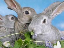 ไข้กระต่าย ไม่ได้เกิดจาก กระต่าย