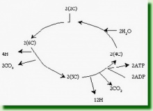 ขั้นวัฏจักรเครบส์ (Krebs cycle)