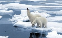 เหตุจากทะเลน้ำแข็งลดลง หวั่นหมีขั้วโลกจะตาย เป็นเบือ