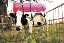 เก็บก๊าซมีเทนในกระเพาะวัว ตกใจ-อาจเป็นสาเหตุโลกร้อน30%