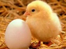 นักวิจัยฟันธง! ไข่เกิดก่อนไก่ชัวร์!?!