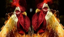 ค้นพบวิธีเปลี่ยนมูลไก่ ให้เป็นพลังงานธรรมชาติ