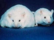 นักวิทยาศาสตร์ใช้หนูสร้างสมองมนุษย์