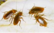 แปลกใจแมลงสาบกับคนไม่ต่างกัน พากันสมองทึบ