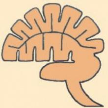 ระบบประสาท สมอง