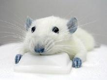 ผู้ดีตัดต่อพันธุกรรมสกัดโปรตีน สร้างหนูมีชีวิตเกินอายุขัย!