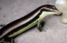 สัตว์หลายชนิด มีเชื้อพันธุ์ที่ควบคุมการงอกใหม่ของอวัยวะได้