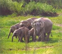 ช้างป่ามีประสาทรู้ดงทุ่นระเบิด กลับเพิ่มจำนวนขึ้น กลางสมรภูมิ
