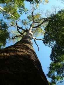 สร้าง ต้นไม้ยักษ์ กินก๊าซคาร์บอน แก้ปัญหาโลก ร้อนให้หายหมดไปได้