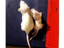 นักวิจัยพบวิธีตัดแต่งพันธุกรรมทำให้ชีวิตยืนยาวแข็งแรงขึ้น