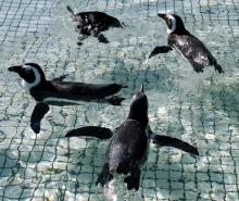 รู้มั้ย เพนกวินโบราณชอบอากาศอุ่น