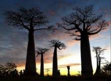 ต้นไม้กินคน ต้นไม้ปีศาจแห่งเกาะมาดากัสการ์